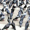 Thumbnail image for Labour accuses pigeons of attempting a soft coo